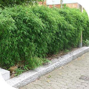 Haie de bambou fargesia non tra ant - Planter des bambous en pot ...