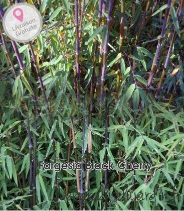 Fargesia nitida Black Cherry, nitida jiuzhaigou sp4