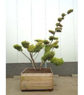 Juniper of China bonsai Niwaki