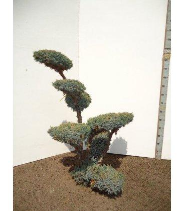 Juniperus Chinensis squamata meyeri bonsai