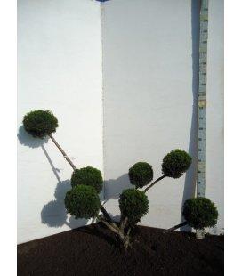Taxus Cuspidata Rustique