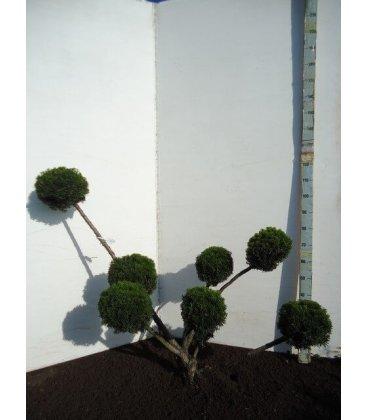 Taxus cuspidata rustique multi boule 100-125m