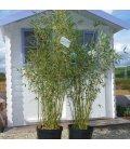 Fargesia Dracocephala pot 12L hauteur 125/150cm