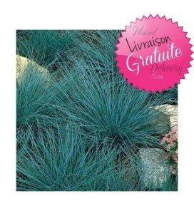 ground cover kit festuca glauca 'elijah blue'