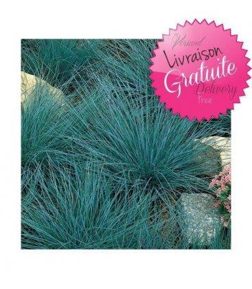 kit couvre-sols 3m² graminée festuca glauca 'elijah blue'