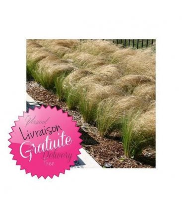 kit Stipa tenuissima pony tails cheveux d'ange