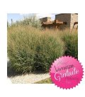 massive grass kit Panicum virgatum heavy metal