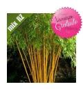 Phyllostachys Vivax Aureocaulis bambou