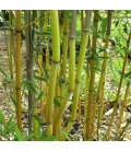Peking bamboo with golden stubble