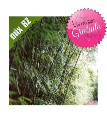Phyllostachys Humilis bambou traçant