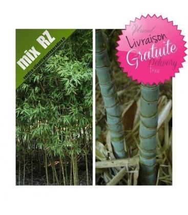 Phyllostachys Aurea, bambou doré