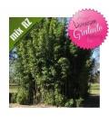 Semiarundinaria Fastuosa viridis
