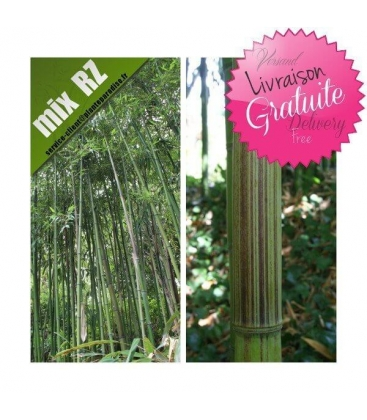 Phyllostachys Violascens