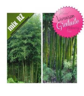 Bambou Phyllostachys Atrovaginata