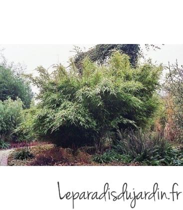 Fargesia Murielae « Jumbo » esquisse
