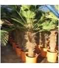 palmier Trachycarpus Wagnerianus stipe 60-80cm 'waggie' vente groupée