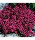 thymus praecox 'coccineus' Rouge
