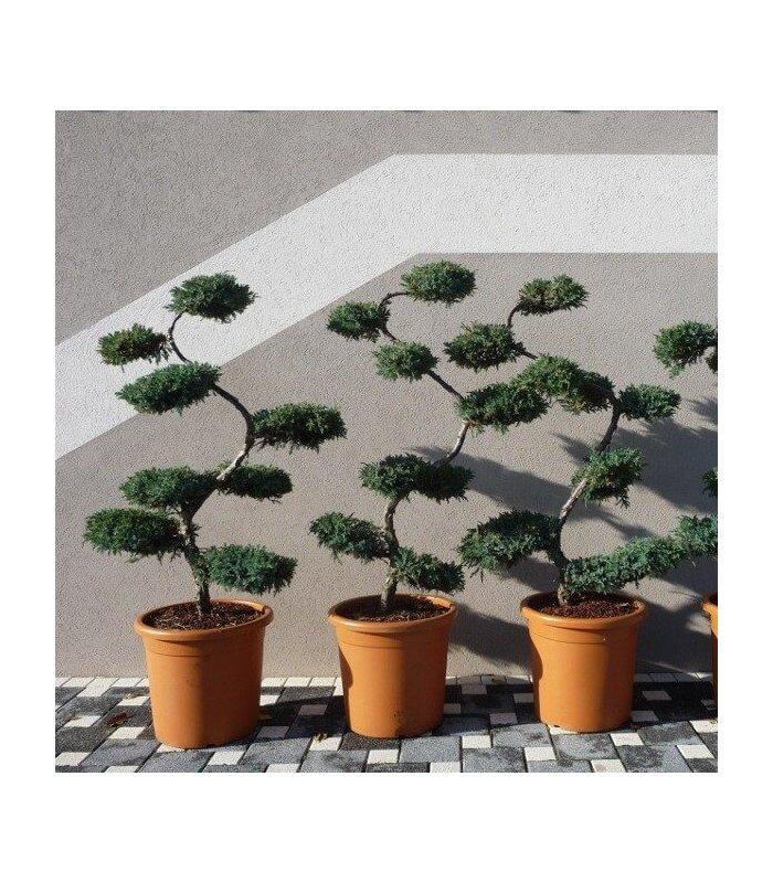arbre nuage japonais niwaki juniperus squamata blue carpet. Black Bedroom Furniture Sets. Home Design Ideas