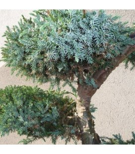 Blossom twig Blue Juniperus squamata Blue Carpet for Japanese Niwaki garden