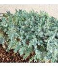 Juniperus Squamata Blue Carpet Blossom Blue Juniper Tree for Japanese Garden Niwaki