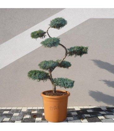 Arbre Nuage rameaux bleuté Juniperus Squamata Blue Carpet pour jardin japonais Niwaki