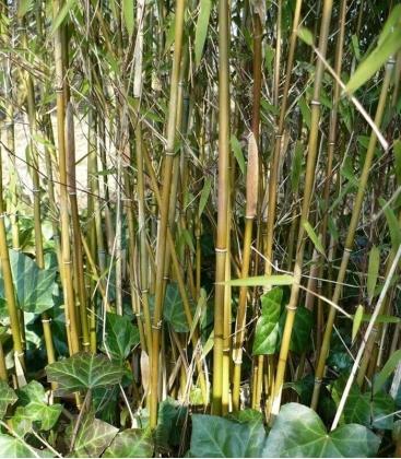 bambou non-traçant Fargesia Jiuzhaigou ' Genf '