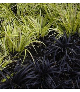 Kit grass carex oshimensis evergold + ophiopogon planiscarpus nigerscens two-tone