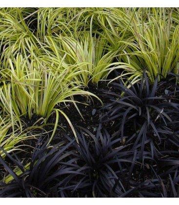 Kit graminée carex oshimensis evergold + ophiopogon planiscarpus nigerscens bicolore