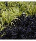 Kit graminée carex / ophiopogon bicolore