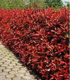 Photinia fraseri red robin hedge