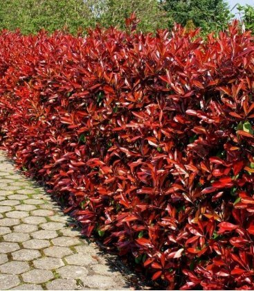 Haie de photinia fraseri red robin