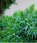 niwaki juniperus chinensis blue alps qualité extra