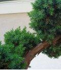bonsai de jardin juniperus chinensis blue alps taille japonaise
