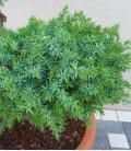 arbre nuage juniperus