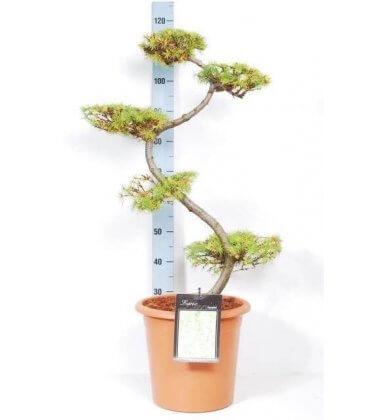 Mélèze du Japon arbre à nuage pas cher larix kaempferi