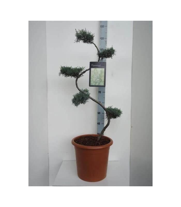 arbre nuage niwaki pas cher cupressus arizonica glauca. Black Bedroom Furniture Sets. Home Design Ideas