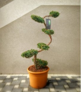 Juniperus Chinensis Blue Alps tree cloud 125-150cm pot 40L