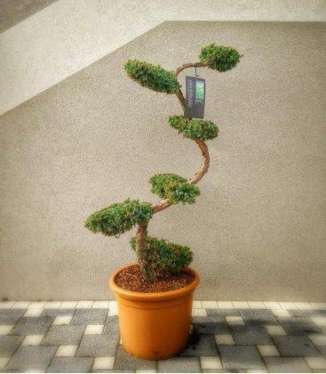 Juniperus Chinensis Blue Alps tree cloud 125-150cm pot 40L