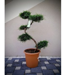 Juniperus Virginia Gray Owl tree has cloud first prize