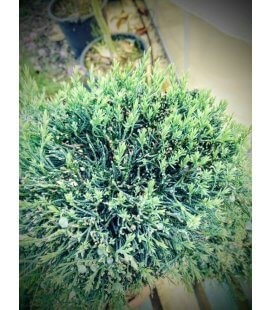 Juniperus Virginia Gray Owl tree has cloud niwaki cheap