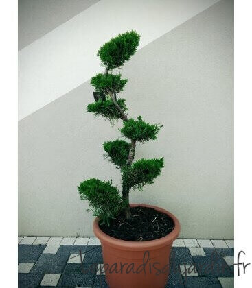 Juniper - Kaizuka - Cheap Cloud Tree