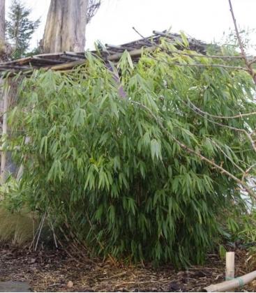 Fargesia Robusta Wenchuan, non-marking bamboo