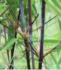 Fargesia nitida Black Pearl tige noire