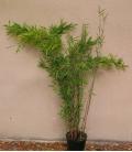 Fargesia nitida Black Pearl bambou non traçant tige noir