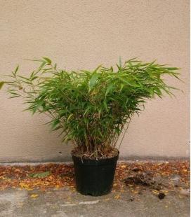 Fargesia Robusta Wenchuan non-marking bamboo