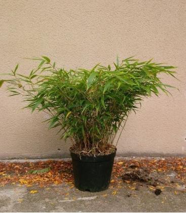 Fargesia Robusta Wenchuan bambou non traçant
