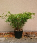 Fargesia Robusta Wenchuan 'Formidable'