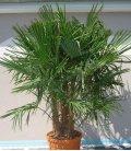 Trachycarpus Fortunei multi-tronc extra 65 litres tronc max 80-100cm