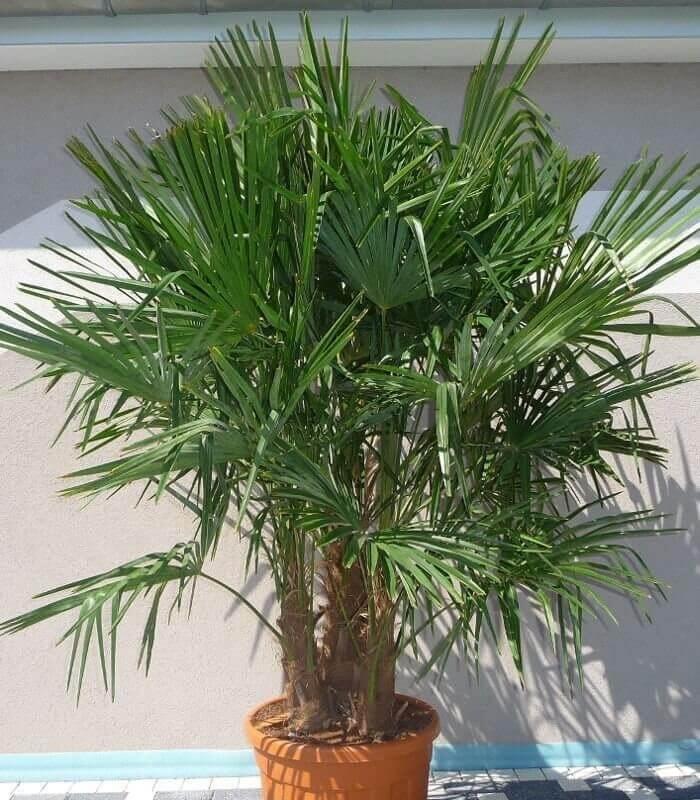trachycarpus fortunei multi tronc palmier chanvre. Black Bedroom Furniture Sets. Home Design Ideas