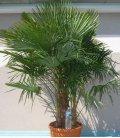 Trachycarpus Fortunei multi-trunk extra 65 liters max trunk 80-100cm
